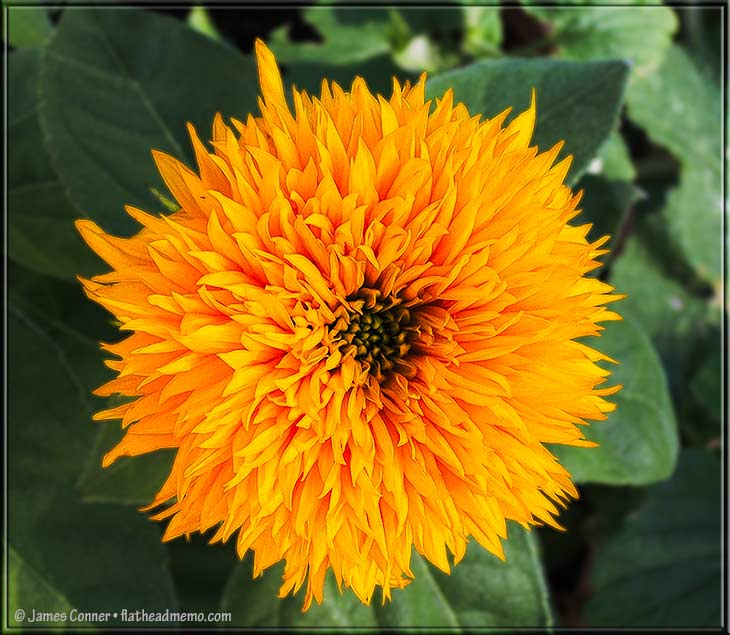 sunflower_fall_two